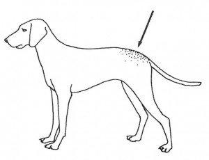 Dog fur mites live on the  lower back