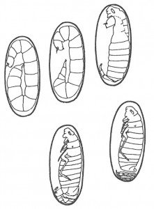 Flea larva developing in cocoon