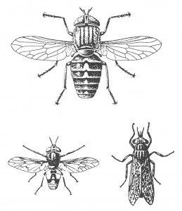 Giant horse fly