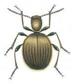 Golden spider beetle