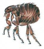 Grown flea