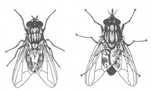 House fly and stable fly