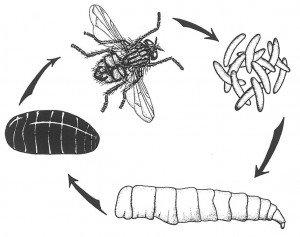 House fly complete metmorphosis