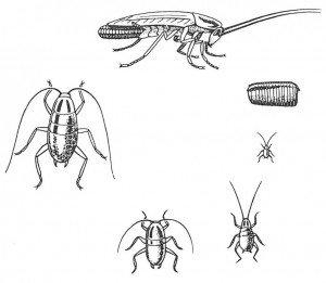 Incomplete metamorphosis of the German cockroach