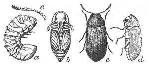 Larva, pupa and grown drugstore beetle