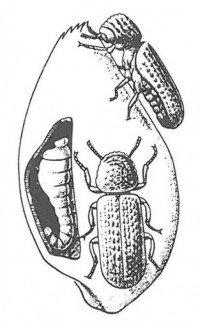 Lesser grain borer larva