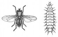 Lesser house fly, adult and larva