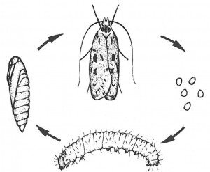 Life cycle for the brown house moth