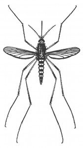 Mosquito, Aedes vexans