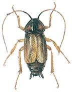 Oriental cockroach male