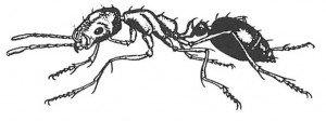 Pharaoh ant seen from side