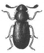 Red-legged kopra beetle