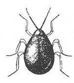 Shiny spider beetle