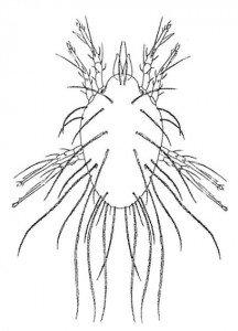 Storage mite, Lepidoglyphus destructor