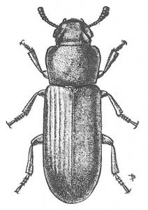 The confused flour beetle