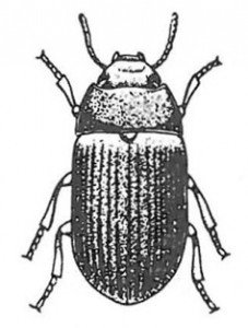 The lesser mealworm beetle