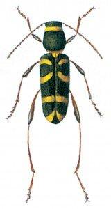Clytus arietis