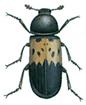 Bacon beetle