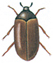 Brown carpet beetle