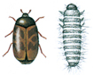 Khapra beetle and larva