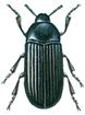 Lesser mealworm beetle