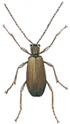 Male spiderbeetle