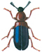 Red-breasted copra beetle