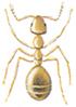 Yellow meadow ant - Lasius umbratus