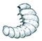 Book worm (Furniture beetle larva)