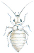 Booklouse with wings