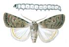 Caredrina clavipalpis