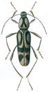 Bamboo beetle - Chlorophorus annularis