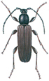 Black spruce long-horn beetle