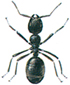 Common black ant