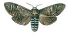 Goat moth