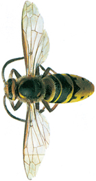 Great hornet - wasp