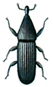 New zealand wood weevil - Euophryum confine
