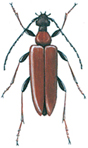 Red longhorn beetle - Leptura rubra