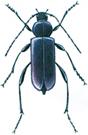 Violet tanbark beetle