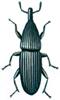 Wood boring weevil, Pentarthrum huttoni