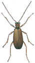 Male spider beetle