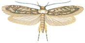 White-shouldered house moth with its wings open