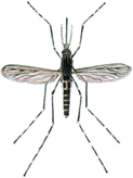 Large common mosquito