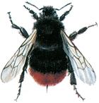 Common bumble bee - Bombus lapidarius