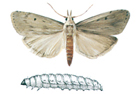 The aphomia sociella moth and larva