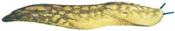 Yellow slug