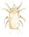 Cheese mite