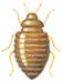 Female odd beetle