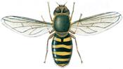 Hoverfly, Syrphus ribesii