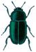 Pollen beetle